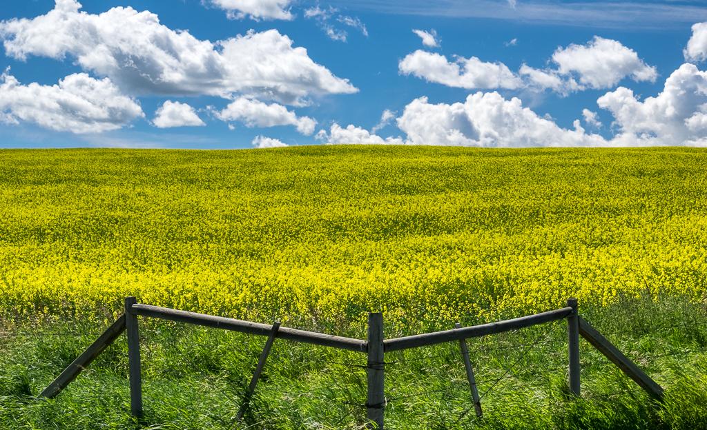 canola-field-landscape
