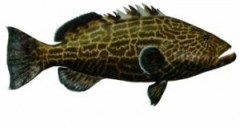 Daytona Black Grouper