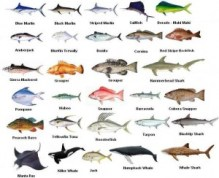 Boca Raton Fishing Species Chart