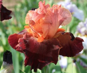 Iris, Peony and Unique Plant Sale - Saturday and Sunday