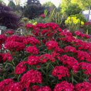 Scarlet Fever Perennial Sweet William