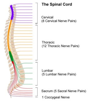 The Spinal Cord - Johns Hopkins