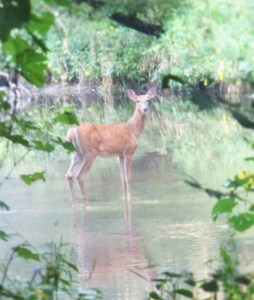 Deer Iowa | Iowa Herbalist