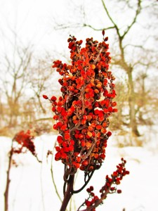 Smooth Sumac | Iowa Herbalist