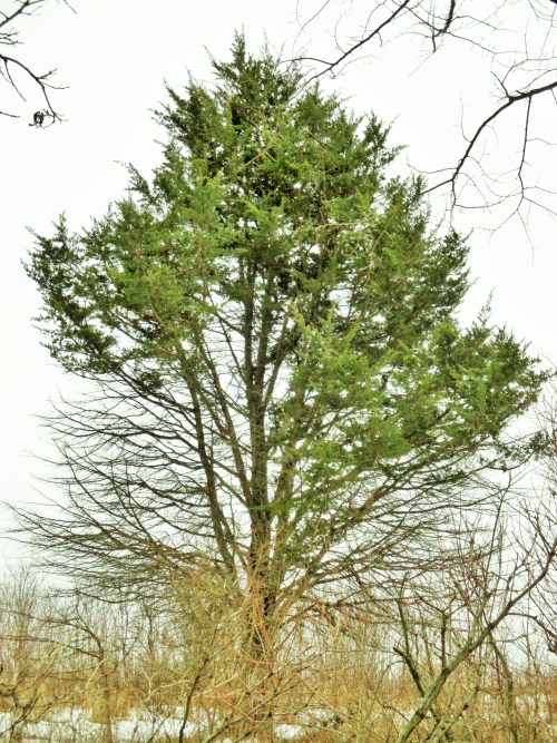 Eastern Red Cedar Tree | Iowa Herbalist