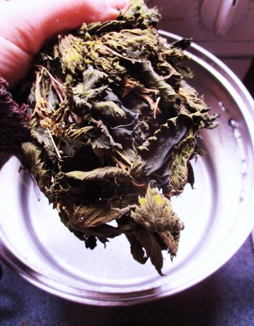 Add Dried Stinging Nettle to Water | Iowa Herbalist