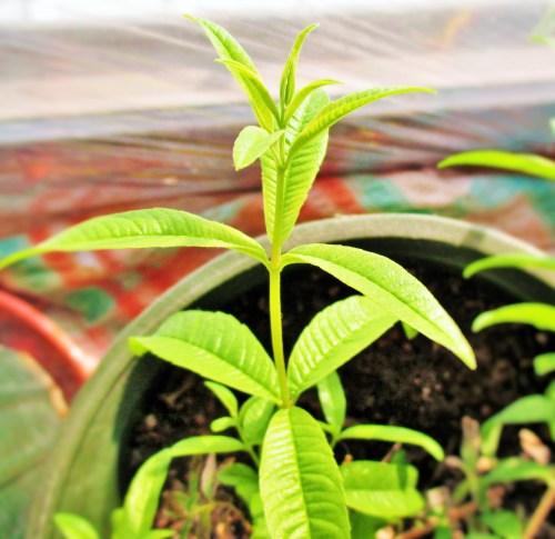 Potted Lemon Verbena | Iowa Herbalist