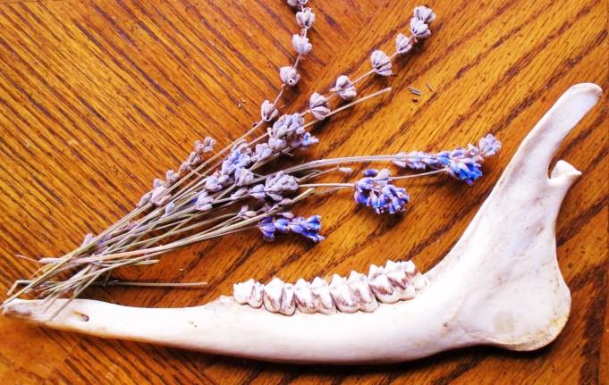 Deer Jaw Bone and Lavender Flowers | Iowa Herbalist