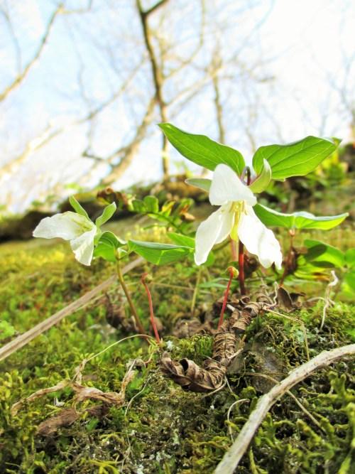 Dwarf Trillium Iowa | Iowa Herbalist