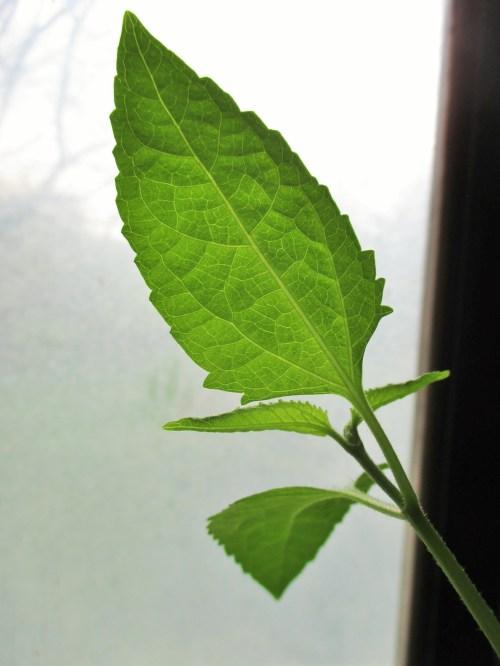 Calea zacatechichi | Iowa Herbalist