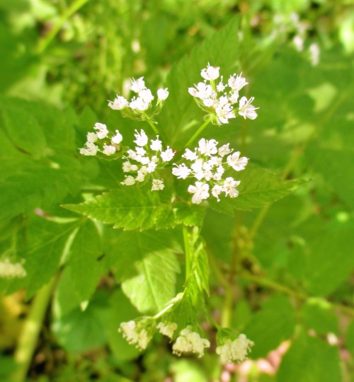 Sweet Cicely Flowers | Iowa Herbalist