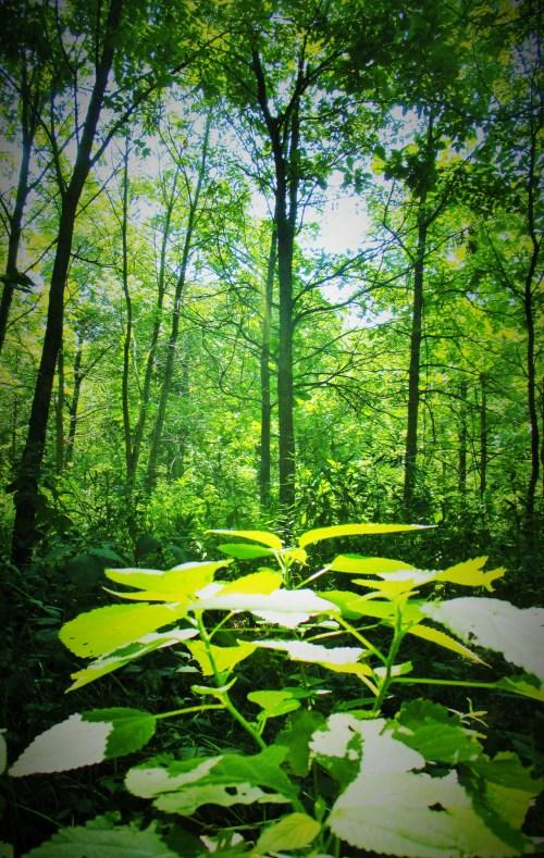 Wood Nettles | Iowa Herbalist