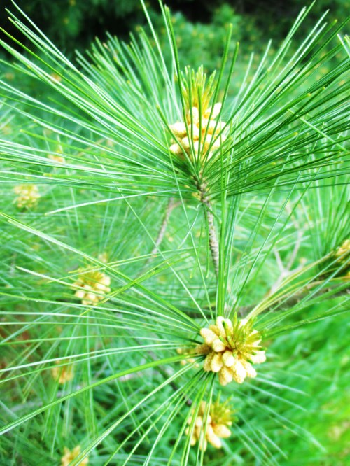 Pinkeye can be a pesky infection issue for both kids and adults. Fortunately, you can use white pine - a very common tree - to help manage it safely. Learn how to use white pine for pinkeye here.