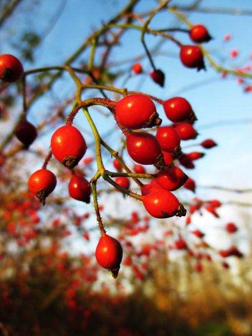 Wild Rose Hips | Iowa Herbalist