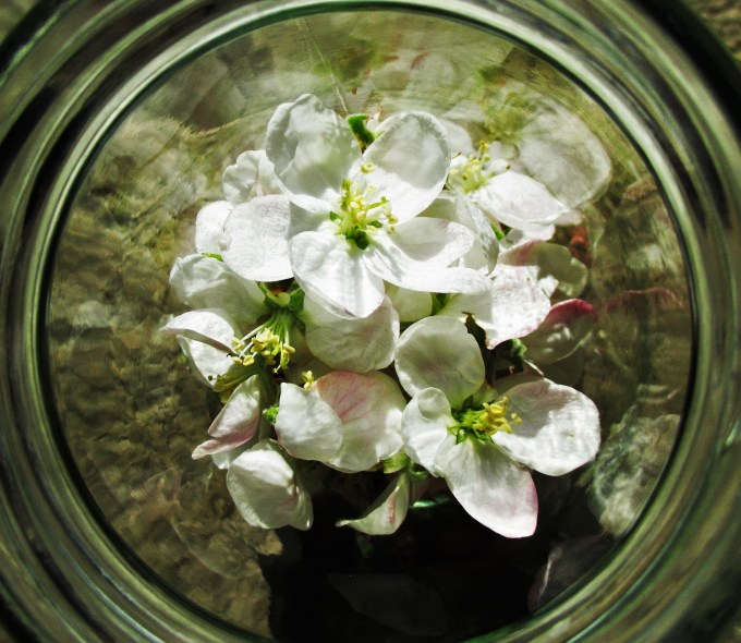 Apple Blossoms in Jar Closeup | Deer Nation Herbs