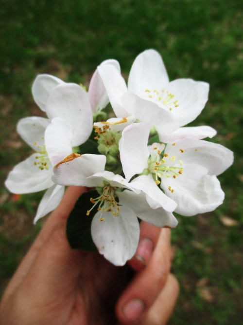 Apple Blossoms | Deer Nation Herbs