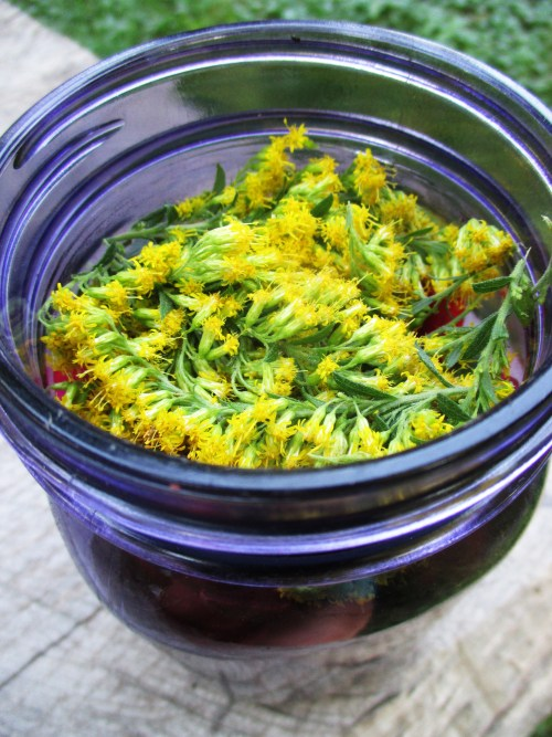 Goldenrod in Beet Shrub | Deer Nation Herbs