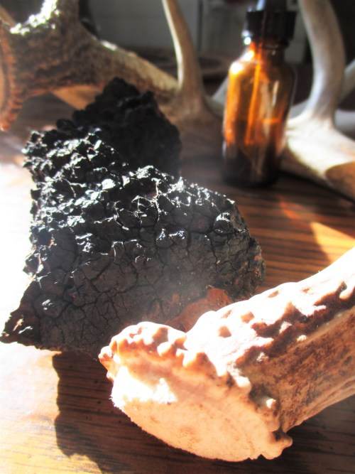 Chaga with Antlers | Iowa Herbalist