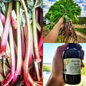Rhubarb Shrub with Sweet Cicely | Iowa Herbalist