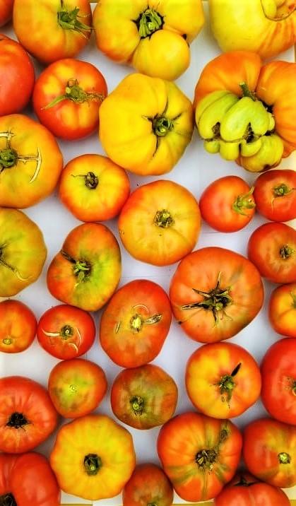 Tomatoes | Iowa Herbalist