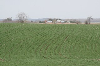 Rye cover crops on Steve Berger's farm in Washington County, Iowa.