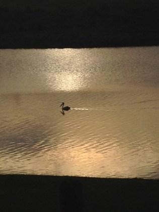 Pelican in the river