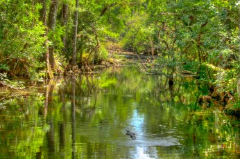 gator-in-everglades-18x12-250px-hdr
