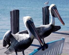 ps-pelicans-16x20-300_1711
