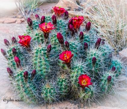 Desert cactus in bloom