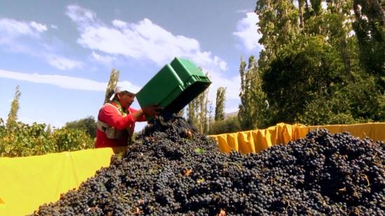 Harvest in Cafayate