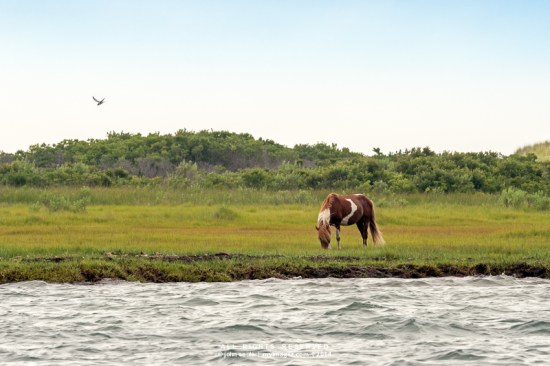 Wild pony grazes on  Assateague Island beach near Ocean City Maryland