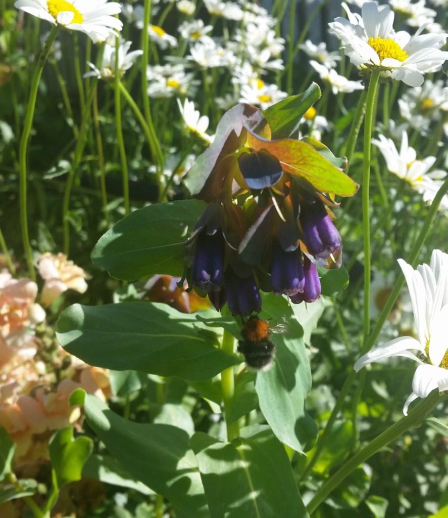 Cerinthe major purpurascens trekker bier
