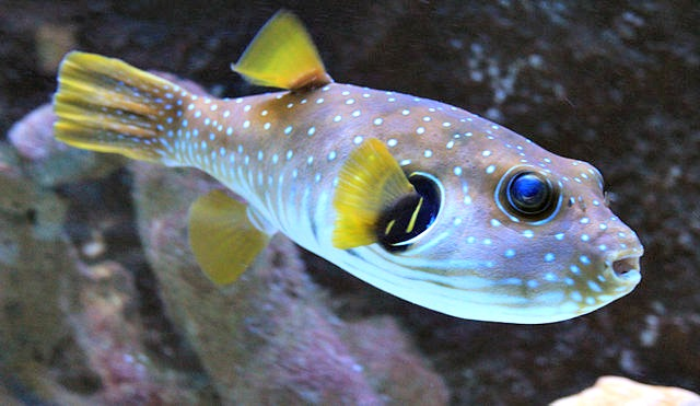 Top 10 facts about pufferfish fun facts you need to know for White fish types