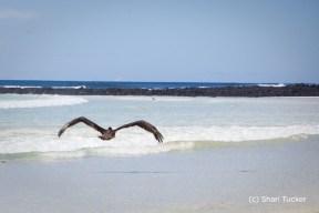 Pelican at Playa Tortuga