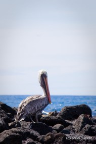 Pelican at Playa Tortuga