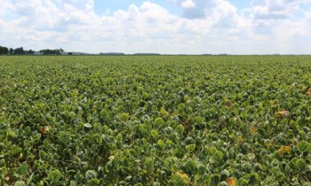 soybeans without the Xtend trait with yellowing of leaves