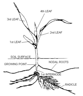 illustration of a 4 leaf corn plant and roots