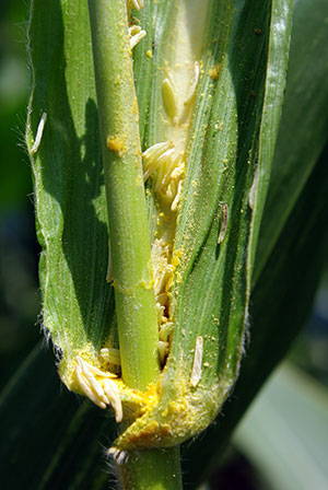 Corn Pollination The Good The Bad And The Ugly Pt 3