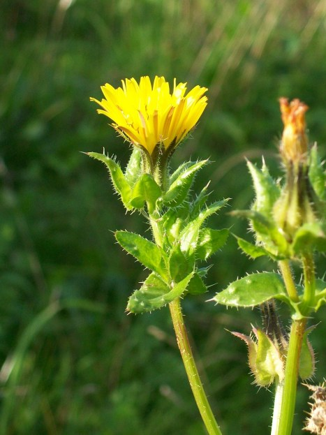 bristly_oxtongue_picris_echioides