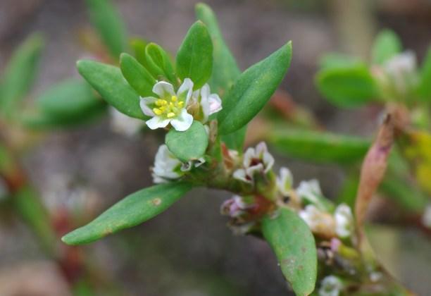 common-knotweed-2