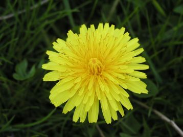 dandelion_close-up