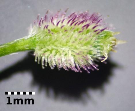 hedge-parsley-3