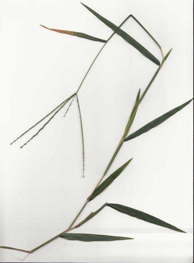 large-carbgrass-3
