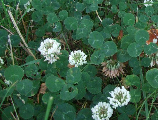 white-clover-2