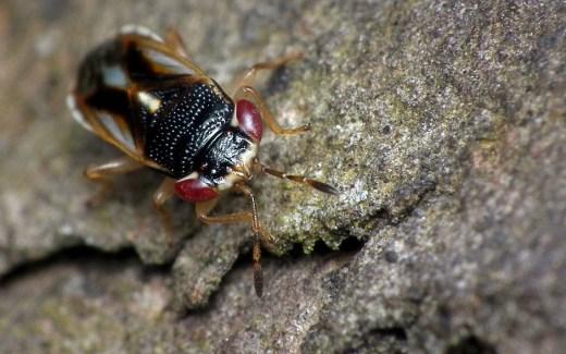 big-eyed-bug