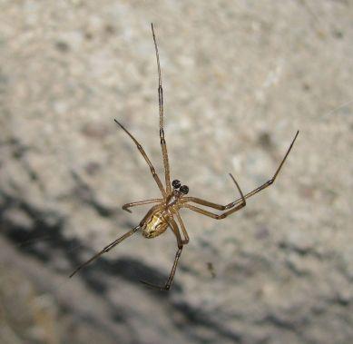 black-widow-male