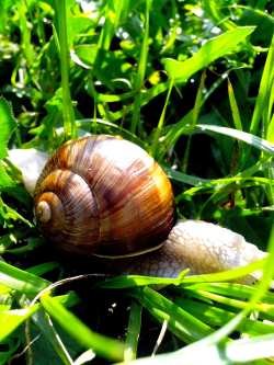 White and brown garden snail