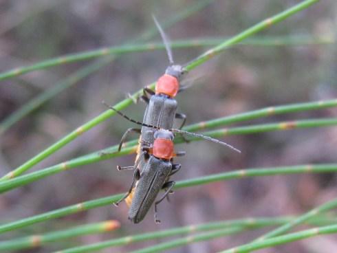 soldier_beetles_5481465619