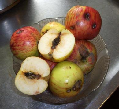 apples with codling moth