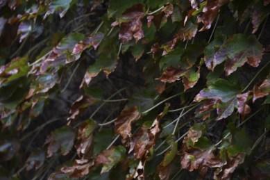 frost-damaged-ivy-leaves